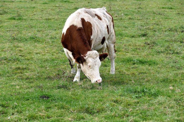 wołowiny