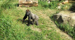 więź człowieka i goryla