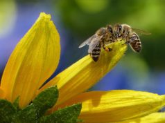 pyłek pszczeli